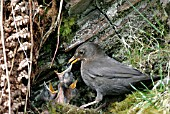 BLACKBIRD (TURDUS MERULA) FEMALE FEEDING YOUNG AT NEST