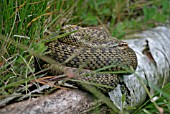 VIPERA BERIS,  ADDER