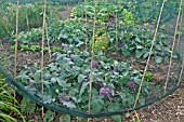NETTING USED TO PROTECT BRASSICAS