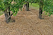 STRAW MULCH ROUND FRUIT TREES IN EARLY SUMMER