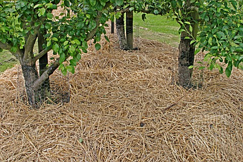 BEV2648- STRAW MULCH ROUND FRUIT TREES IN EARLY SUMM ...