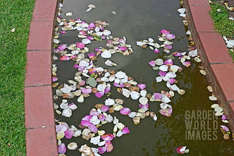 POND_POLLUTION__ROSE_PETALS_FALL_INTO_WATER