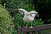 HERRING GULL (LARUS ARGENTATUS) ON GARDEN SEAT