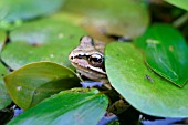 COMMON FROG,  RANA TEMPORIA,  LOOKING OUT FROM LILY PADS
