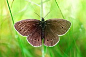 RINGLET BUTTERFLY,  APHANTOPUS HYPERANTHUS,  AT REST
