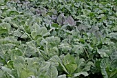 BRASSICAS LARGE BED OF DEVELOPING PLANTS IN SEPTEMBER