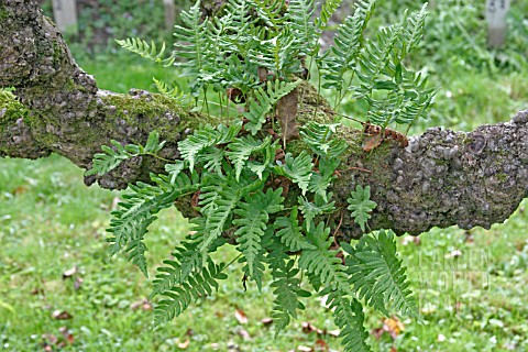 FERNS_GROWING_ON_OLD_APPLE_TREE