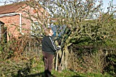 REMOVING APPLE TREE,  START BY REMOVING SMALL BRANCHES WITH LOPPERS
