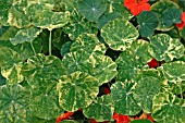VIRAL DISEASE ON NASTURTIUM PROBABLY CAUSED BY TURNIP MOZAIC VIRUS
