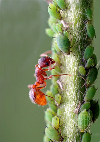 COMMON_RED_ANT__MYRMICA_RUBRA__MILKING_APHID