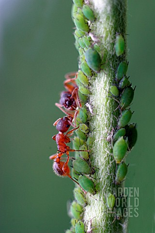 COMMON_RED_ANT__MYRMICA_RUBRA__MILKING_APHIDS