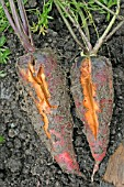 CARROT SHOWING ROOT SPLITTING