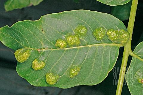 خسارت کنه گال زگیلی برگ گردو روی میوه Eriophyes tristriatus Nalepa