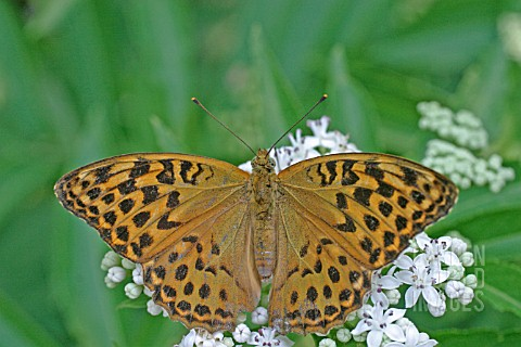 SILVER_WASH_FRITILLARY_ARGYNNIS_ADIPPE_BUTTERFLY__FEMALE_ON_FLOWER_