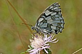 MARBLED WHITE (MELANARGIA GALATHEA) BUTTERFLY AT REST