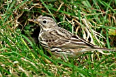 MEADOW PIPIT AT NEST