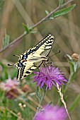 SWALLOWTAIL,  TAKING NECTAR FROM FLOWER