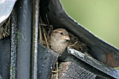 HOUSE SPARROW (PASSER DOMESTICUS) FEMALE AT NEST