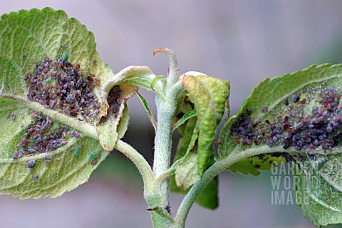 ROSY_APPLE_APHID_ON_UNDERSIDE_OF_LEAF