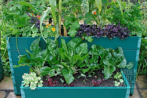 PATIO_PLANTERS_WITH_MIXED_VEGETABLES_IN_AUGUST