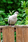 COLLARED DOVE,  STREPTOPELIA DECOACTO,  ON GARDEN SEAT,  FRONT VIEW