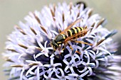 WASP (VESPA VULGARIS) TAKING NECTAR FROM FLOWER
