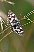 MARBLED WHITE BUTTERFLY (MELONARGIA GALATHEA) AT REST