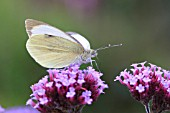 LARGE WHITET BUTTERFLY TAKING NECTAR FROM BUDDLIEA