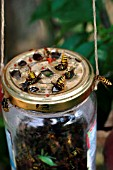 WASP TRAP (VESPULA VULGARIS) IN JAM JAR
