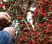 USING TYWRAPS TO TRAIN COTONEASTER AGAINST WALL