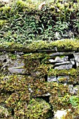 MOSSES AND FERNS GROWING ON OLD STONE WALL