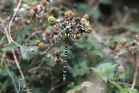 SOUTHERN_HAWKER_AESHNA_CYANEA__DRAGON_FLY_MALE_AT_REST_ON_BLACKBERRY_BUSH