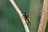COMMON WASP (VESPULA VULGARIS) RASPING SURFACE OF FOOLS PARSLEY STALK FOR NEST MATERIAL