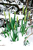 DAFFODILS THROUGH SNOW