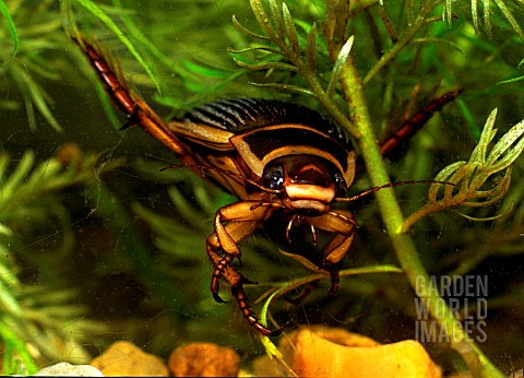 GREAT_DIVING_BEETLE_FEMALE__DYSTICUS_MARGINALIS__ON_ATTACK_FRONT_VIEW