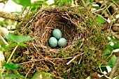BLACKBIRDS NEST AND EGGS