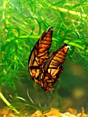 GREAT DIVING BEETLE PAIR,  DYSTICUS MARGINALIS,  MATED PAIR