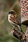 HOUSE SPARROW (MALE) BY BIRD FEEDER