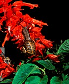 GARDEN SNAIL, HELIX ASPERSA,  ON SALVIA AT NIGHT