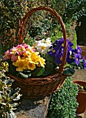 PRIMULA PRIMROSE IN BASKET