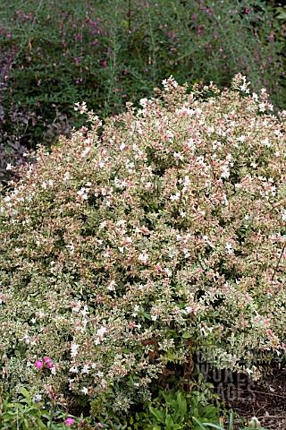 Bpd1014 Abelia Grandiflora Conti Confetti Asset Details Garden