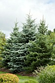 PICEA WINDBREAK