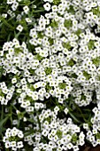 LOBULARIA MARITIMA SNOW PRINCESS