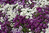 LOBULARIA MARITIMA CLEAR CRYSTAL MIX