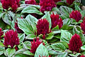CELOSIA SMART LOOK RED