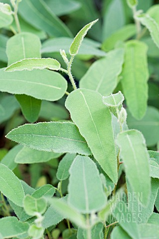 EUCALYPTUS_CITRIODORA_LEMON_GUM