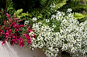 LOBULARIA SNOW PRINCESS AND FUCHSIA