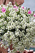 LOBULARIA MARITIMA IN HANGING BASKET