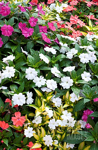 IMPATIENS_HAWKERI_NEW_GUINEA_MIX