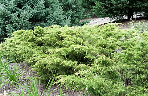 JUNIPERUS_CHINENSIS_SAYBROOK_GOLD